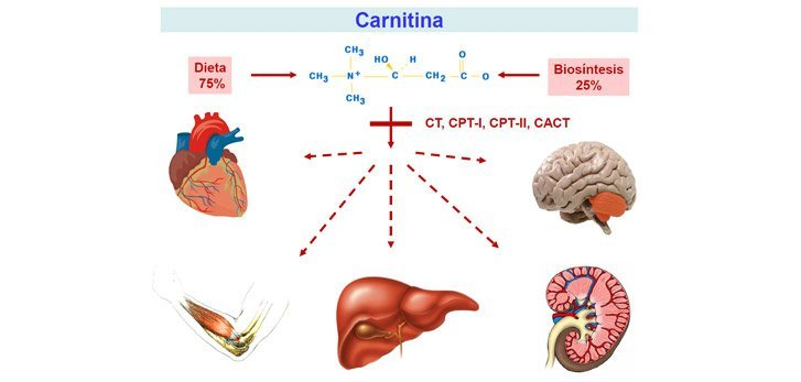 carnitina benefici